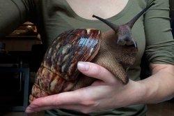 Гигантская улитка с мордой кролика смутила пользователей сети