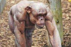 Лысый шимпанзе-качок заставил пользователей сети почувствовать стыд